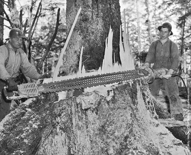 Two men using an electric power saw to fell a tree circa 1940's