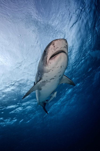 Tiger sharks are responsible for several attacks on humans each year. (Photo by Steve Hinczynski/Mediadrumworld)