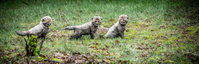 Three cheetah cubs go outside for the first time in Beekse Bergen, Hilvarenbeek, on March 9, 2017. Five cubs were born on the first of February. (Photo by Rob Engelaar/AFP Photo/ANP)