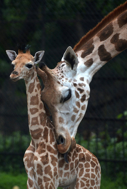 A mother giraffe licks her 20-day old baby giraffe calf and stays close to him at the Alipore Zoological Garden in Kolkata on June 10, 2013. With the birth of this newborn, the number of African giraffes has increased to nine and the garden authorities are taking special care of the newborn and his mother. (Photo by Dibyangshu Sarkar/AFP Photo)