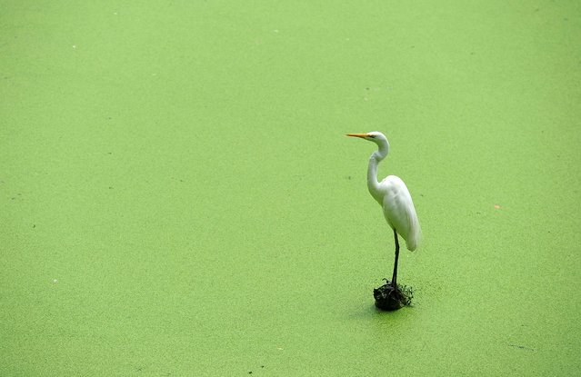 An egret perches on foliage in a lake at a zoo in Dehiwala near Colombo on April 29, 2014. Sri Lanka has a rich bird life with approximately 433 species recorded. (Photo by Lakruwan Wanniarachchi/AFP Photo)