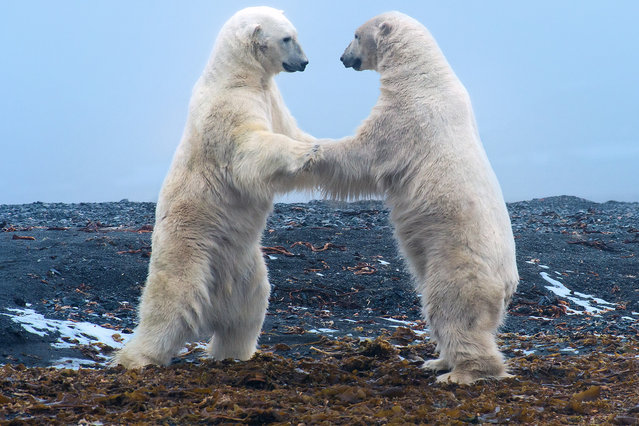 Strictly Bear Dancing: The bears meet in a brief yet beautiful display of play fighting on July 2013 in Svalbard, Arctic Ocean. A pair of adolescent polar bears clash in a dramatic display of play fighting.Shot in 2013, these stunning pictures were taken by South African snapper Andrew Schoeman, 42, who was leading a photography tour across the Arctic Plains of Svalbard. (Photo by Andrew Schoeman/Barcroft Media)