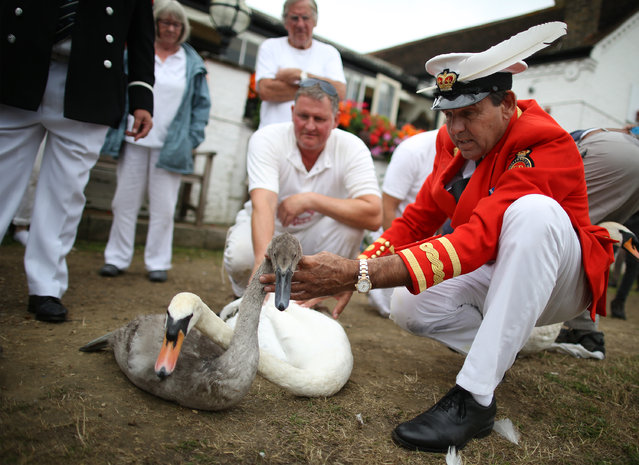 The Sovereign's Swan Marker David Barber (R) looks at a swan and a cygnet after they were taken from the river Thames on July 20, 2015 in London, England. The historic Swan Upping ceremony dates back to the 12th century, to when the Crown claimed ownership of all Mute Swans and they were eaten at banquets and feasts. (Photo by Peter Macdiarmid/Getty Images)