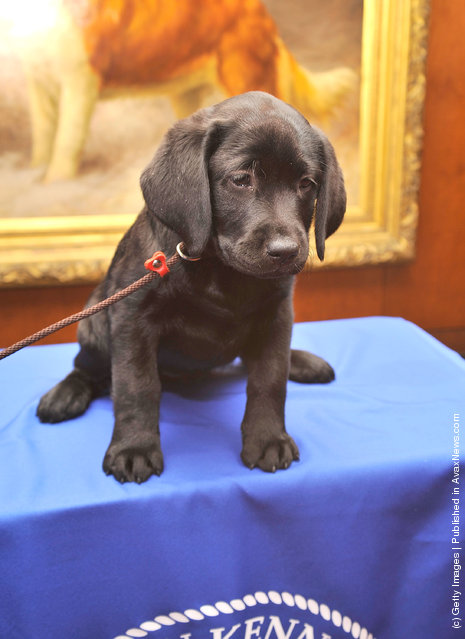 Brooklyn's Deli, a black Labrador Retriever puppy attends as American Kennel Club announces Most Popular Dogs in the U.S. at American Kennel Club Offices