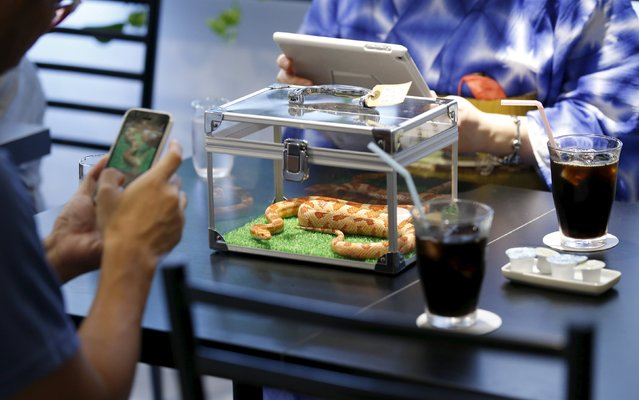 Customers take photos of a snake at the Tokyo Snake Center, a snake cafe, in Tokyo's Harajuku shopping district  August 14, 2015. (Photo by Toru Hanai/Reuters)