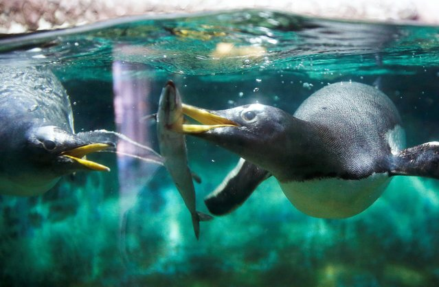 Two penguins dive for a fish in the zoo in Frankfurt, Germany, Friday, July 25, 2014. (Photo by Michael Probst/AP Photo)