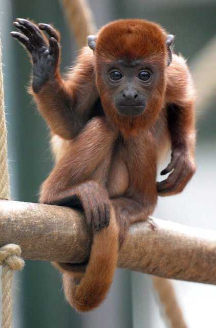 A young howler monkey named Geronimo climbs at the zoo in Cologne, Germany