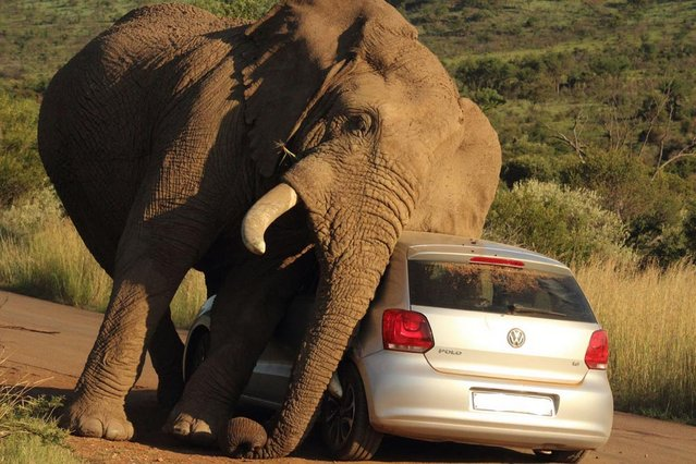 Two terrified occupants of a Volkswagen Polo found themselves in the wrong place at the wrong time as the giant animal stooped down to rub itself against the vehicle's roof and bonnet. The incredible scene was captured by field guide and lodge manager Armand Grobler, 21, at Pilanesburg National Park in South Africa. (Photo by Armand Grobler/Barcroft Media)