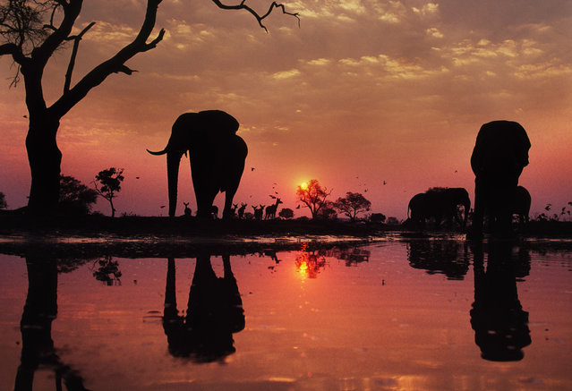 African elephants stand by a waterhole at sunset in Botswana. (Photo by Frans Lanting/Dantia Delimont/Caters News/Ardea)