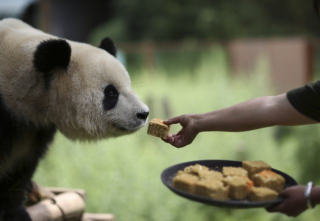A breeder feeds a moon cake to a giant panda at a zoo in Kunming, Yunnan province, September 4, 2014. Moon cake is the traditional food for Chinese people during the Mid-Autumn Festival, which falls on September 8 this year. (Photo by Wong Campion/Reuters)