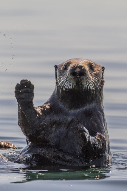 An otter appears to wave at Daniel Fox, in June 2014, on Kodiak Island, Alaska. Driving in an open-roofed jeep is no longer the fashionable way to see wildlife – as this adventurer shows. (Photo by Daniel Fox/Barcroft Media)