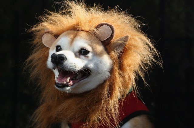 Kuma, a Shibu Inu, poses as a lion at the Tompkins Square Halloween Dog Parade on October 20, 2012 in New York City
