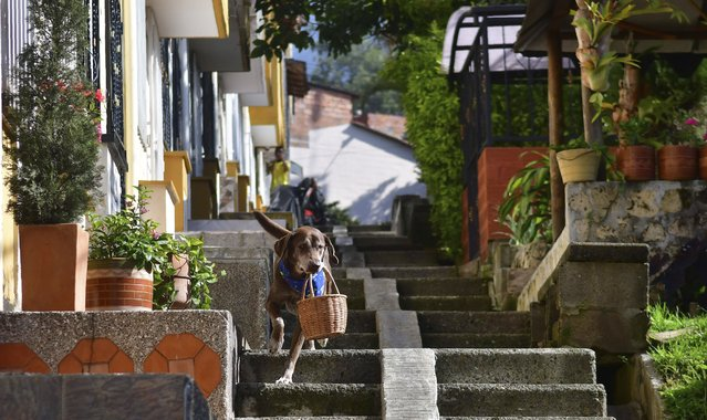 """Eros carries a basket of bread from the El Porvenir mini-market as he makes a delivery on his own in Medellin, Colombia, Tuesday, July 7, 2020. The eight-year-old chocolate Labrador remembers the names of customers who have previously rewarded him with treats, and with some practice, he has learned to go to their houses on his own. """"He helps us to maintain social distancing"""", said Eros' owner Maria Natividad Botero, amid the COVID-19 pandemic. (Photo by Luis Benavides/AP Photo)"""