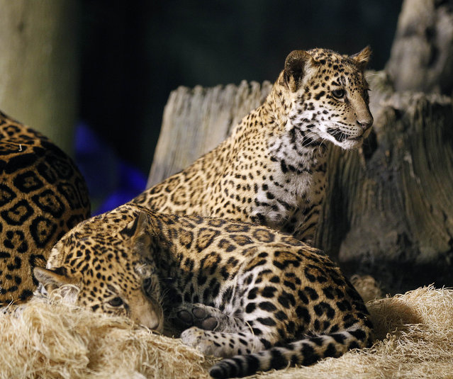 """In foreground B'alam and in background Zean rest in their encloseure at the  Milwaukee County Zoo .  Zean and B'alam  are the two newest jaguar cubs with the mother Stella who are now on public exhibit, at four months old. B' alam (who has larger and darker spots as well as a square space on her forehead showing no spots) name means """"Great and powerful king in Mayan.   Zean encompasses the Belize people living and working in Belize, with all cultures. She has smaller, almost greyish spots on her coat.  The names were revealaed at the Milwaukee County Zoo, Wednesday, March 13, 2013. Journal Sentinel photo by Rick Wood/RWOOD@JOURNALSENTINEL.COM"""