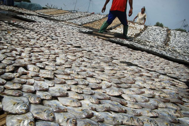 Workers walk between fish left to dry in Demak, Central Java on December 23, 2014 in this photo taken by Antara Foto. (Photo by Andreas Fitri/Reuters/Antara Foto)