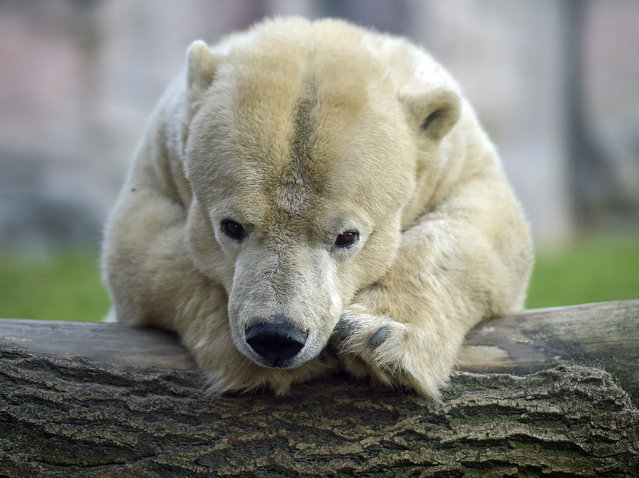 Little handicapped  female polar bear Antonia rests on a trunk on a cold day at the zoo in Gelsenkirchen, Germany, Tuesday, January 6, 2015. The oldest bear in the zoo is 25 years old, but due to her dwarfism,  it  measures only 1.35 meters compared to 2.20 meter of her fellows. (Photo by Martin Meissner/AP Photo)