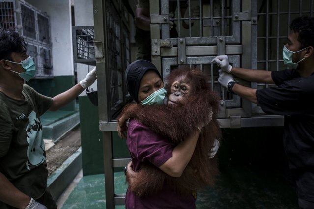 A worker carries a Sumatran orangutan being prepared to be released into the wild, November 14, 2016, in Kuta Mbelin, Indonesia. (Photo by Ulet Ifansasti/Getty Images)