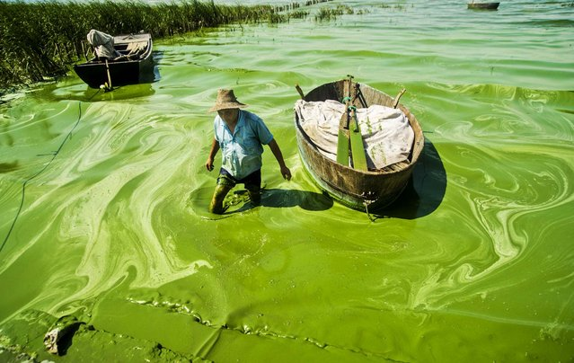 A fisherman wades in Chaohu Lake, covered in blue-green algae, in Chaohu city, Anhui province, on July 19, 2013. (Photo by Reuters/China Daily)