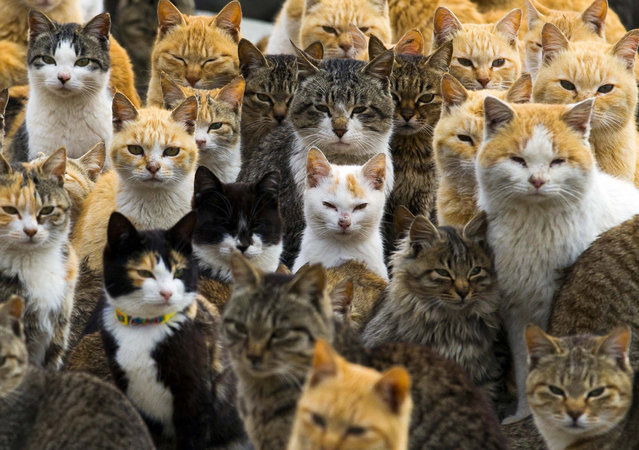 Cats crowd the harbour on Aoshima Island in the Ehime prefecture in southern Japan February 25, 2015. An army of cats rules the remote island in southern Japan, curling up in abandoned houses or strutting about in a fishing village that is overrun with felines outnumbering humans six to one. (Photo by Thomas Peter/Reuters)