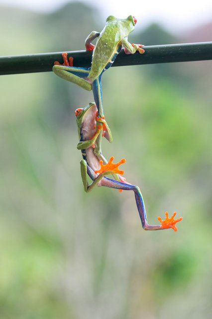 This amazing picture captures the moment two frogs work together to get up a tree, on September 28, 2013. (Photo by Caters News)