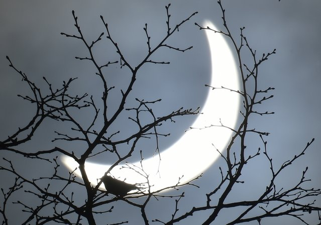 A bird rests on a branch as a partial solar eclipse is seen, near Bridgwater, in south western England, March 20, 2015. (Photo by Toby Melville/Reuters)