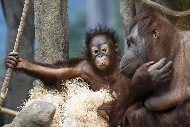In this March 18, 2015 photo provided by the Chicago Zoological Society, Kecil, a 1-year-old orangutan, hangs out with his surrogate mom, Maggie, at Brookfield Zoo's Tropic World in Brookfield, Ill. (Photo by Jim Schulz/AP Photo/Chicago Zoological Society)