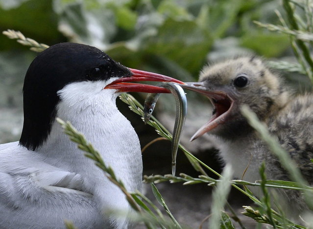 An arctic tern feeds its chick on the Farne Islands off the Northumberland coast, northern England July 8, 2013. (Photo by Nigel Roddis/Reuters)