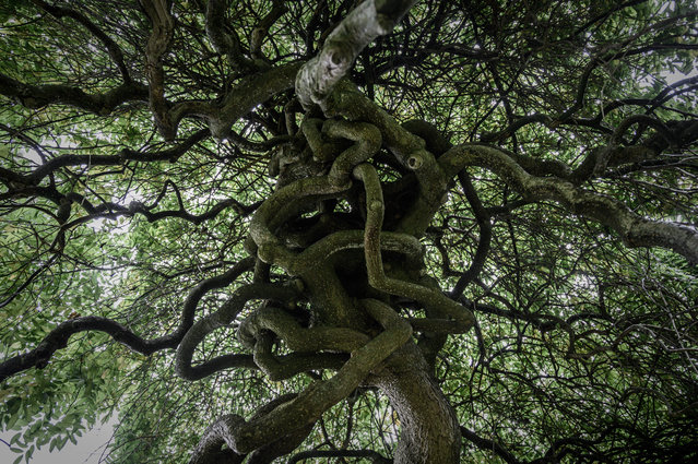 This picture taken on October 11, 2019 shows a Weeping Sophora Japonica tree part of the 30 trees deemed admirable in the gardens of the Palace of Versailles. Among the 350,000 trees planted on the Estate of Versailles, 30 trees have been deemed admirable on account of their beauty, history or botanical rarity twenty years after the terrible storm of the year 1999. (Photo by Philippe Lopez/AFP Photo)