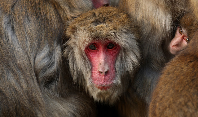 Japanese macaque monkeys huddle together in a group to protect themselves against the cold weather at Awajishima Monkey Center on January 18, 2014 in Sumoto, Hyogo Prefecture, Japan. Low temperatures has hit across Japan with more heavy snowfall in February. (Photo by Buddhika Weerasinghe/Getty Images)