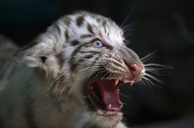 A white Bengal tiger cub born in captivity is seen during a press presentation at Huachipa's private zoo in Lima, Peru, March 16, 2016. (Photo by Mariana Bazo/Reuters)