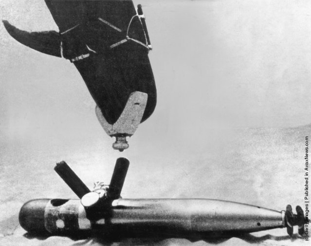 A dolphin trained by the US Navy to locate mines and torpedoes