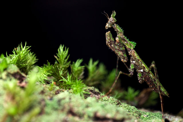 These tiny insects are so well camouflaged it is nearly impossible to make out their cleverly disguised forms. Canadian photographer and adventurer Paul Bertner attempted to catch the bugs in their natural habitats as part of a hide-and-seek game to show biodiversity in nature. Here: Moss mantis. (Photo by Paul Bertner/Caters News)