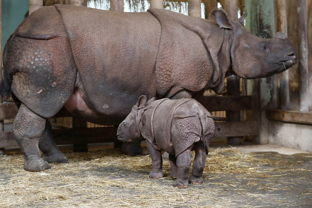 A newly born baby Indian rhino stands by its mother Manjula in its enclosure at the zoo in Plzen, Czech Republic, Friday, February 24, 2017. The baby was born on Feb. 5, 2017, and is yet to be named. (Photo by Petr David Josek/AP Photo)