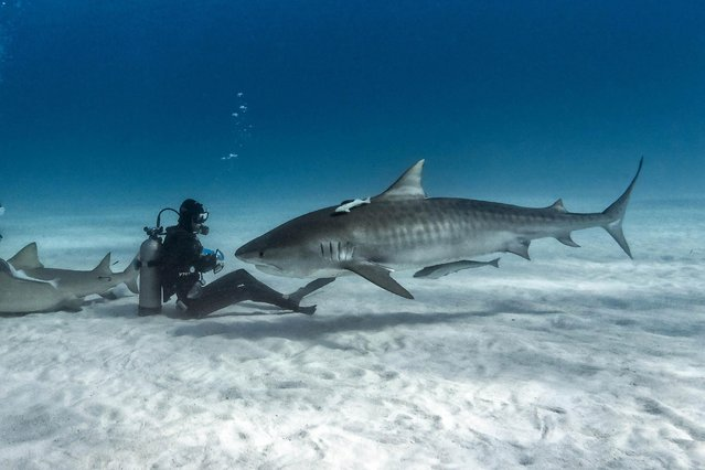 Incredible pictures of humans getting up close with deadly tiger sharks were captured by photographer Steve Hinczynski. (Photo by Steve Hinczynski/Mediadrumworld)