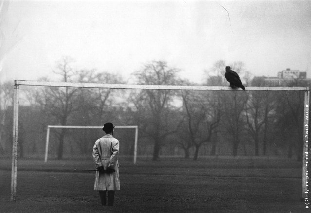 Goldie the golden eagle, who escaped from her cage at London Zoo, perched on the crossbar of a goalpost on a football pitch in Regent's Park, London