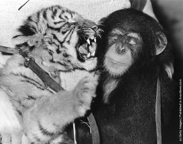 27th November 1979:  A tiger cub has a short chat with a chimp