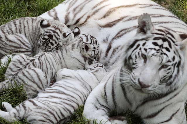 Lisa, the tiger mother, and her three two-month-old baby white tigers rest on the grass at the Cerza zoo in Hermival-les-Vaux, northwestern France, on June 10, 2015. (Photo by Charly Triballeau/AFP Photo)