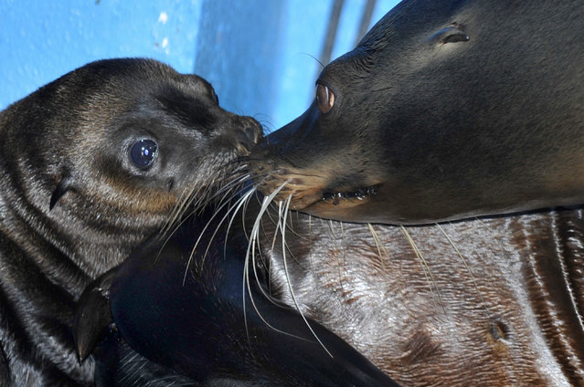Tiny week old California sea lion pup named Oscar seen at ZSL Whipsnade Zoo on July 03, 2015 in Bedfordshire, England.  Born to first-time parents Bailey and Dominic on June 18, 2015 the two-week-old male, named Oscar is the first baby to arrive at the Zoo since dad Dominic was born in 2007. (Photo by Tony Margiocchi/Barcroft Media)