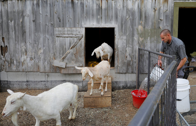 Peter Corriveau feeds his goats at Jenness Farm. Corriveau, who owns the 5-acre (2 hectare) farm in Nottingham, New Hampshire, about 60 miles (100 km) north of Boston, said he had toyed with the idea for several months before launching his first class in April. (Photo by Brian Snyder/Reuters)