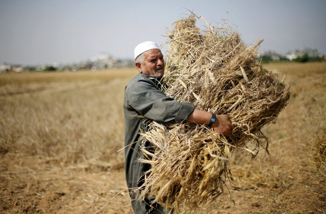 A Palestinian man collects barley during harvest on a farm in Khan Younis in the southern Gaza Strip April 25, 2016. (Photo by Ibraheem Abu Mustafa/Reuters)