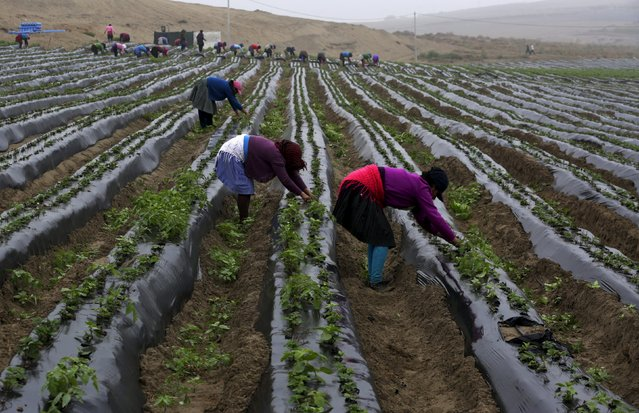 Farmworkers clear weeds in a strawberry field at a farm in Huaral on the outskirts of Lima, Peru, August 5, 2015. (Photo by Mariana Bazo/Reuters)