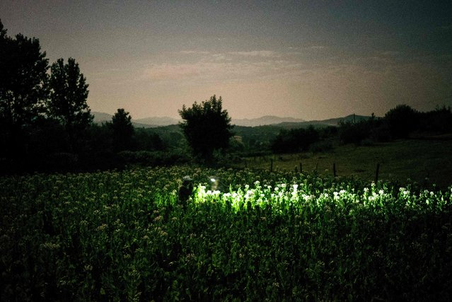 A Bulgarian family collects tobacco using flashlights in the early morning to escape the summer heat near the village of Karchovsko, southern, Bulgaria, on July 12, 2017. (Photo by Dimitar Dilkoff/AFP Photo)