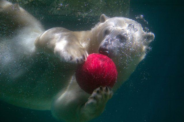 A polar bear plays with a red ball under water in its compound at the zoological garden in Wuppertal, Germany, Wednesday, July 23, 2014. (Photo by Matthias Balk/AP Photo/DPA)