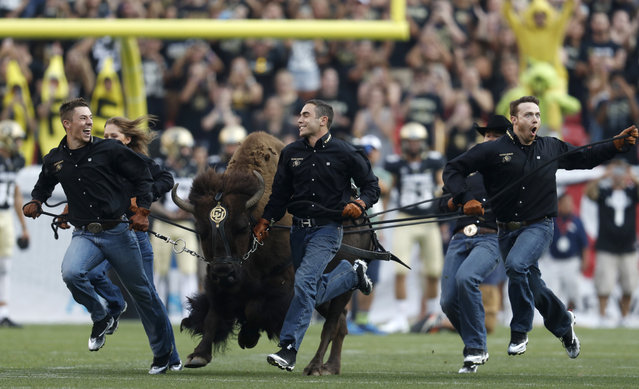Handlers guide Colorado team mascot Ralphie for its traditional run across the gridiron to lead in the players to face Colorado State in an NCAA college football game Friday, September 1, 2017, in Denver. (Photo by David Zalubowski/AP Photo)