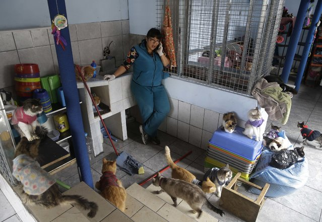 In this August 15, 2014 photo, Maria Torero, talks on her mobile phone, surrounded by several of the 175 cats with leukemia she cares for at her home in Lima, Peru. The Peruvian government doesn't keep numbers on street cats, but Torero says there must be millions in the country. (Photo by Martin Mejia/AP Photo)