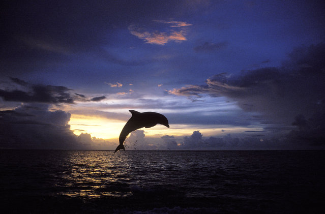 A bottlenose dolphin at Roatan Island, Carribean. (Photo by Francois Gohier/Caters News/Ardea)