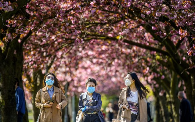 Members of the public view the cherry blossom in the Meadows after a month of lockdown on April 24, 2020 in Edinburgh, United Kingdom. The British government has extended the lockdown restrictions first introduced on March 23 that are meant to slow the spread of COVID-19. (Photo by Jeff J. Mitchell/Getty Images)