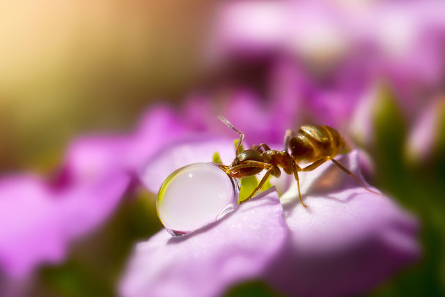 A macro view of an ant drinking from a water droplet in Obihiro, Japan. Animal-Lover Miki Asai has gone a step beyond feeding bread to the ducks – by syringe-feeding water to tiny ants. The office worker from Obihiro City, Japan, squirts droplets near the tiny insects and then uses a macro lens to capture quenching their thirst. The amateur photographer started capturing these images near her house in July 2013 after spotting an ant struggling in the rain. (Photo by Miki Asai/Barcroft Media)