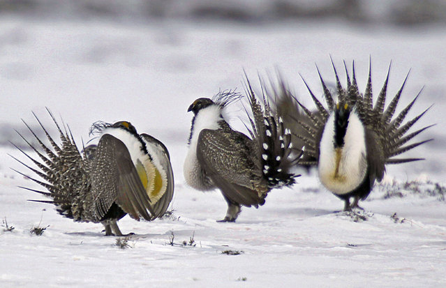 In this April 20, 2013 file photo, male greater sage grouse perform mating rituals for a female grouse, not pictured, on a lake outside Walden, Colo. Two governors are warning the Trump administration against big changes in a plan to protect the ground-dwelling bird across the West, saying it would send a message to states not to bother cooperating to save other imperiled species. Colorado's John Hickenlooper and Wyoming's Matt Mead said Tuesday, October 31, 2017 that a 2015 plan for the greater sage grouse came from long negotiations among governments, conservationists and industry. (Photo by David Zalubowski/AP Photo)