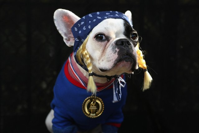 French Bulldog Lula poses as the Olympic Team USA at the Tompkins Square Halloween Dog Parade on October 20, 2012 in New York City